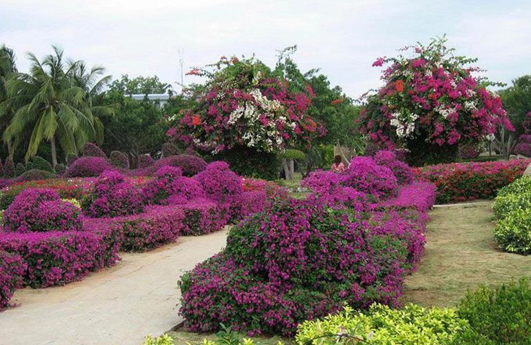 石梅半岛 热带植物园三角梅